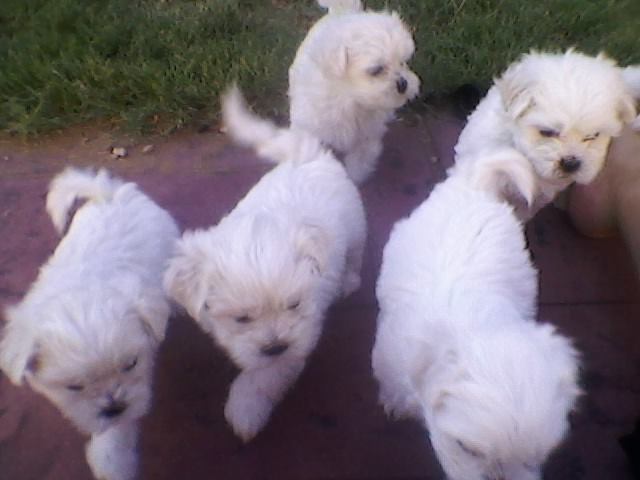 Maltese X Shih Tzu Puppies Adelaide Dogs For Sale Puppies For
