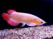 lovely super red asian arownas for sale(capesantinos@yahoo.com)