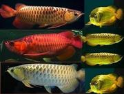 BUY AROWANA FISH NOW!!!!!!!!!!VERY CHEAP