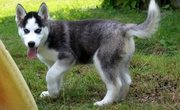 Healthy Well Trained Male and Female siberin husky puppies