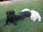 Lovely Labrador pup for sale