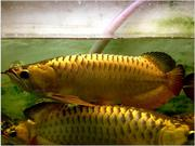Black Diamond Stingray Fishes / Red and Golden Arowana Fish For  sale
