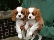 Cavalier King Puppies For Sale