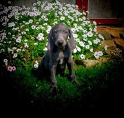 Cute Weimaraner puppies for sale .