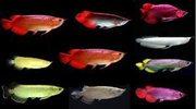 Grade A Asian Arowana Fish Available for Sale and Good Price !!! Top S