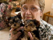 XMAS Tea-Cup Size Yorkie Puppies