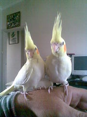 hand reared cockatiels